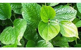 Inilah 3 Jenis Tanaman Herbal Untuk Kesehatan Paling Banyak Dipilih